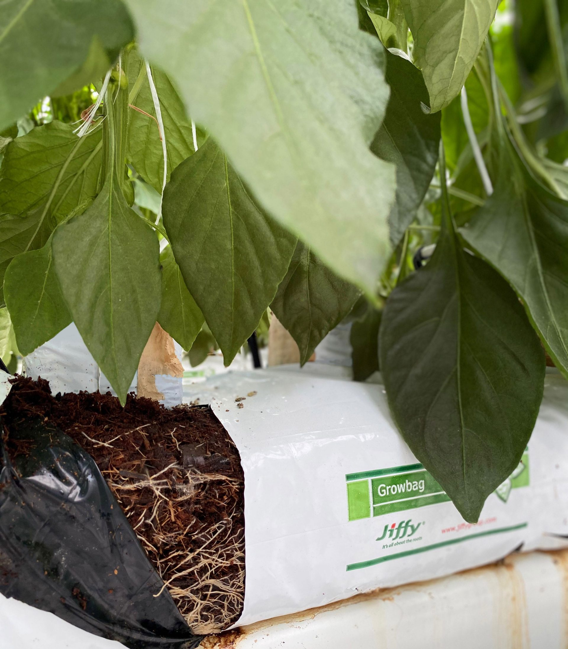 villaserre peppers jiffy growbags