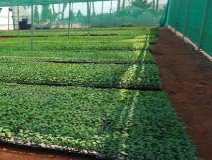 Papaya propagation in jiffy7c